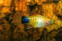 Xiphophorus-maculatus-2.jpg